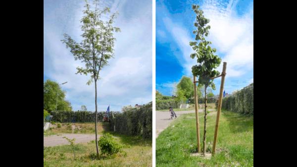 Bilder der beiden SPD-Bäume